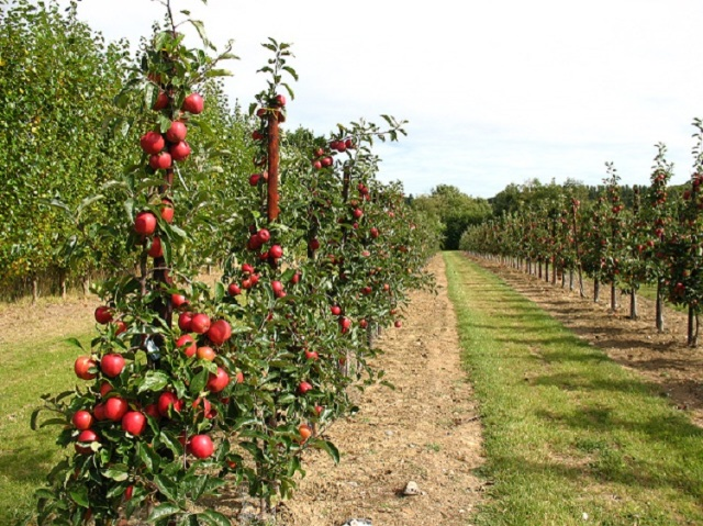 apple_trees