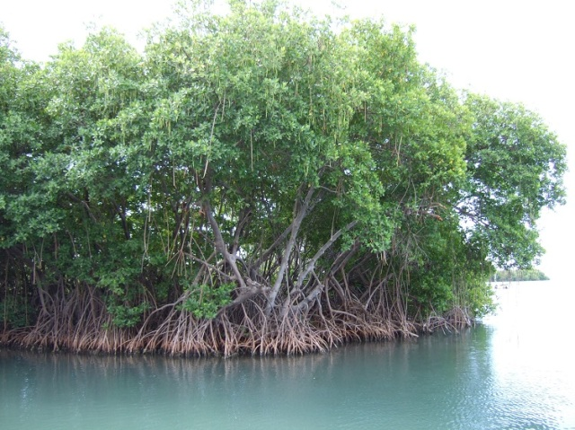 Mangroves_in_Puerto_Rico
